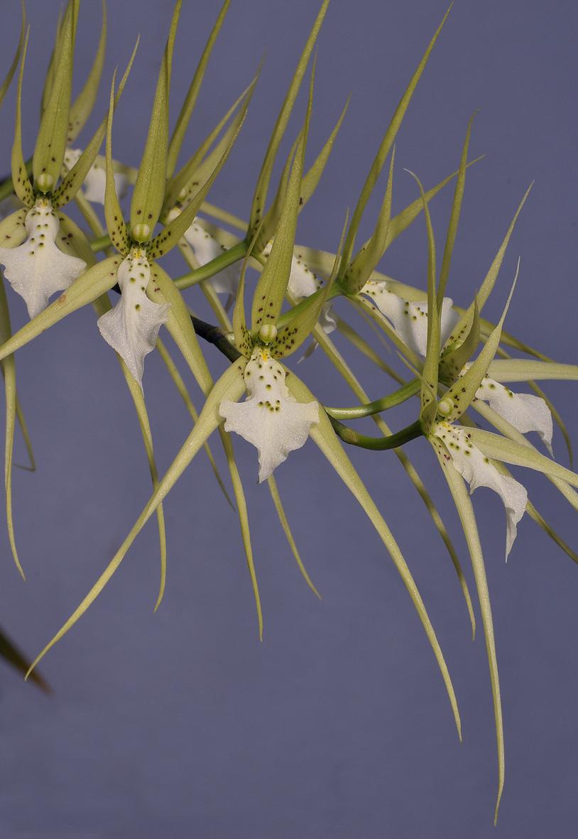 Brassia verrucosa. Closer.