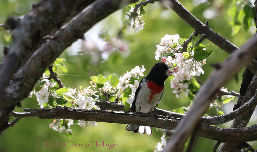 Apple Blossoms and Mr Rose Breasted Grosbeak