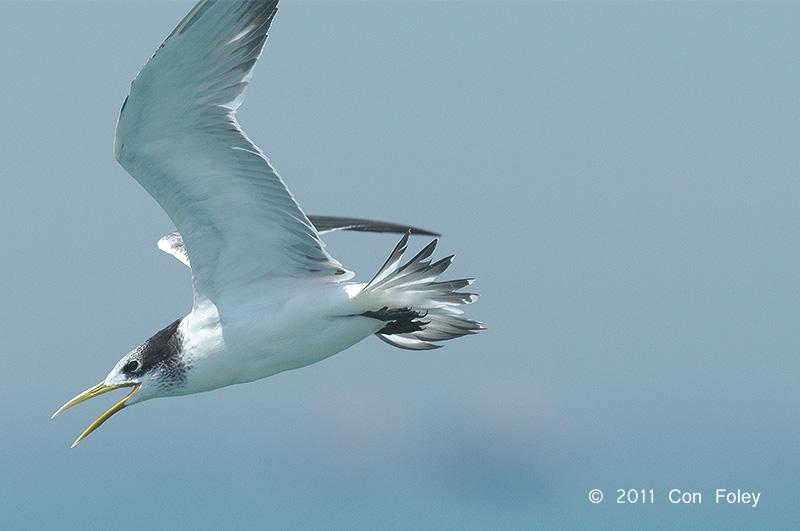 Tern, Swift (juv) @ Singapore Straits