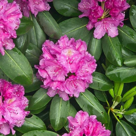 Catawba Rhododendron 2