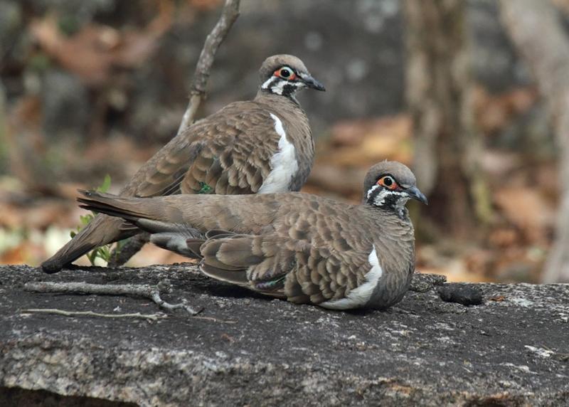 Squatter Pigeons