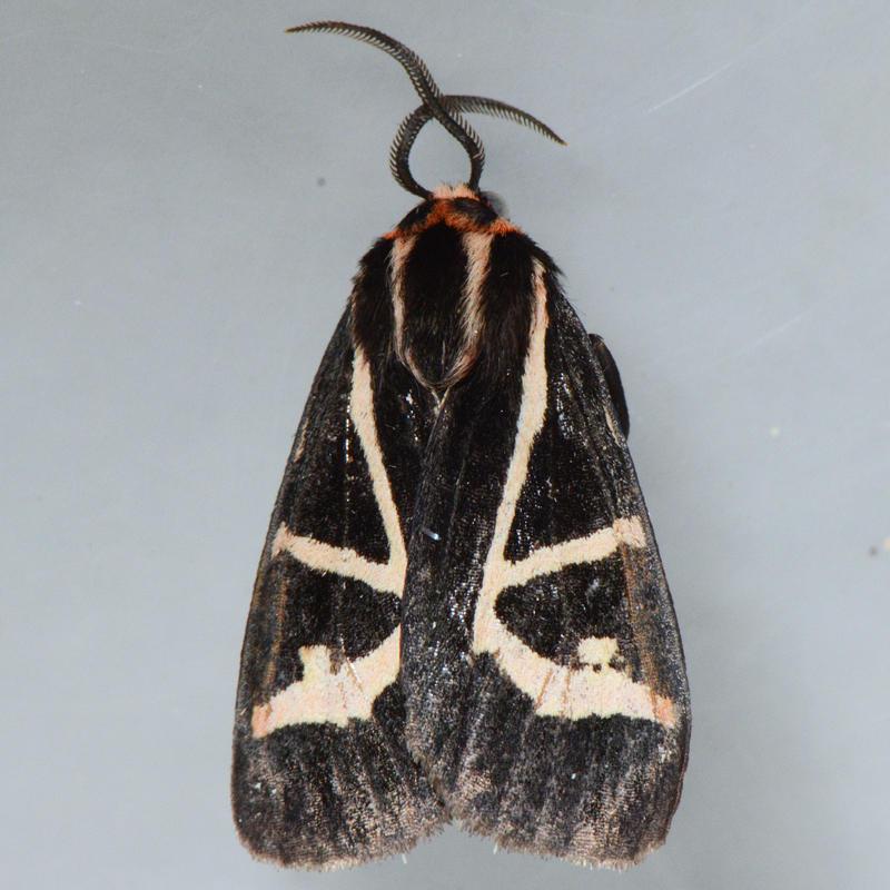 8188 Figured Tiger Moth - Grammia figurata