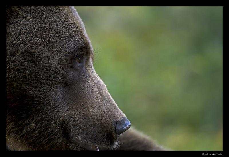 0140 brown bear (C)