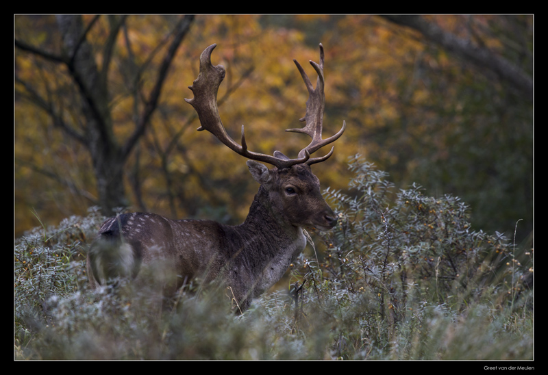 2403 fallow deer