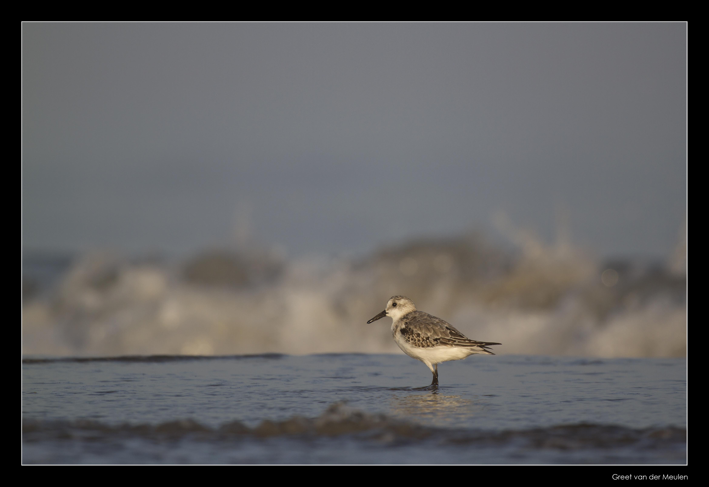 7673 sanderling