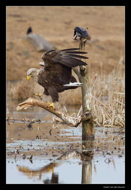 1458 white tailed eagle and hooded crow