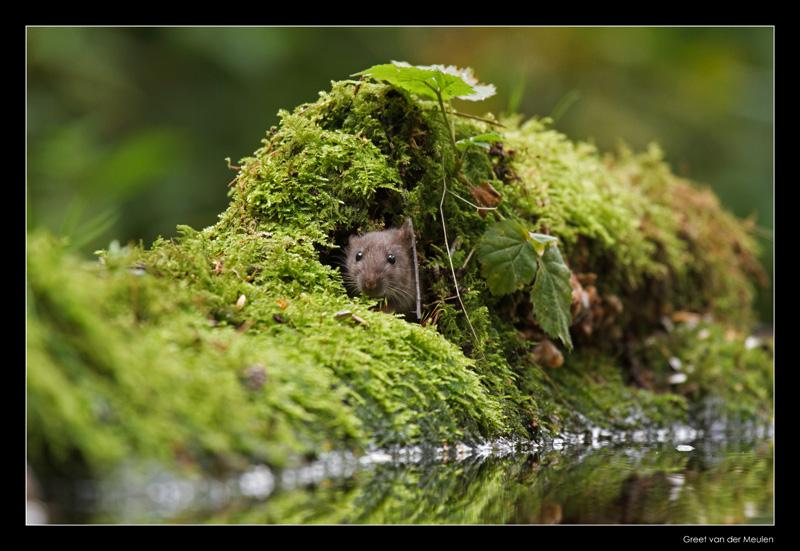 2924 young brown rat