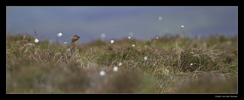 3262 red grouse
