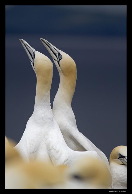 7408 baltsing gannets