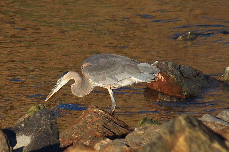Grey Egret on the prowel