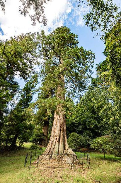IMG_7197.jpg Giant Redwood, Killerton Gardens - Devon - © A Santillo 2016