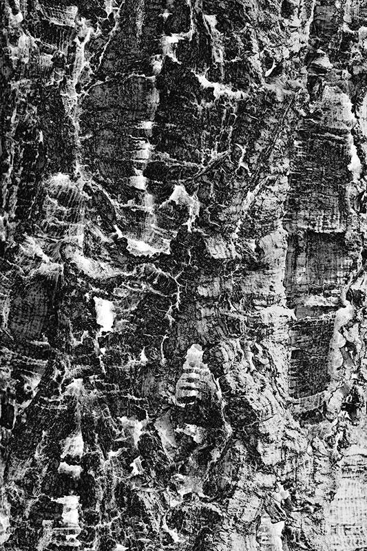 _MG_2424.jpg Cork Tree bark - warm temperate biome, The Eden Project - © A Santillo 2009