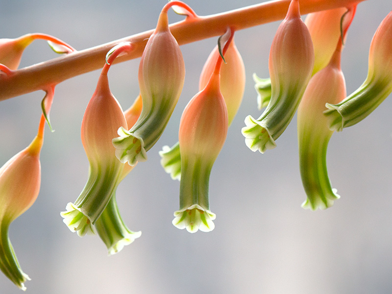Ox Tongue Flower
