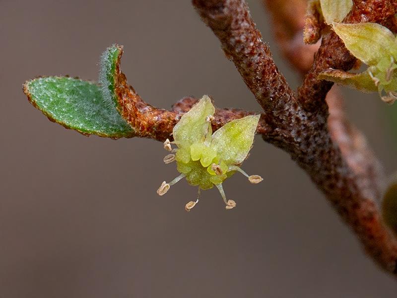 Canada Buffaloberry