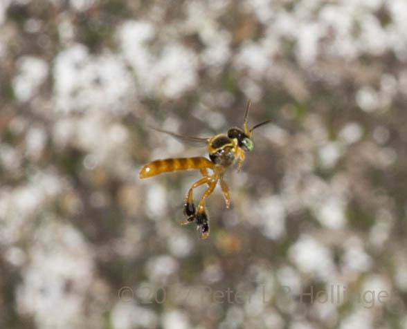 Stingless bee flying