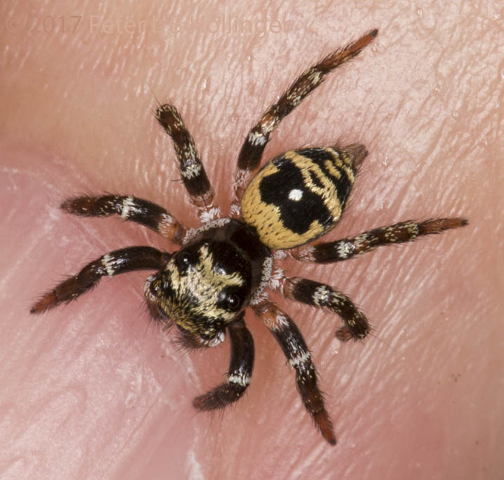 Tiny black and yellow jumper, dorsal