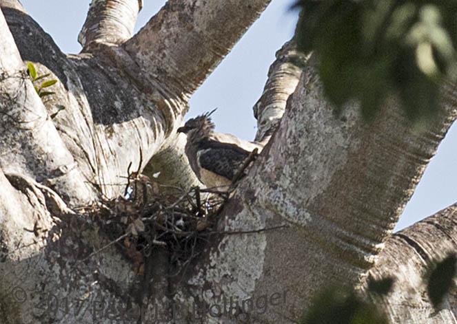 Crested Eagle (<i>Morphnus guianensis</i>) mother at nest