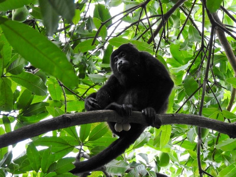 Mantled Howler Monkey (male)