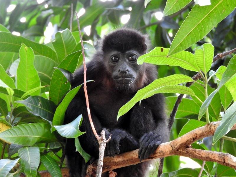 Mantled Howler Monkey (immature)