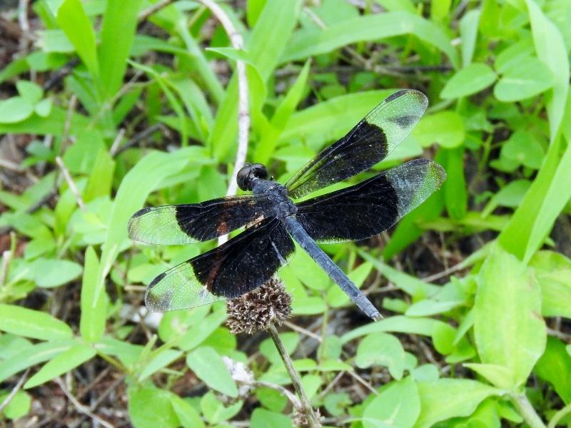 Black-winged Dragonlet (Erythrodiplax funerea)