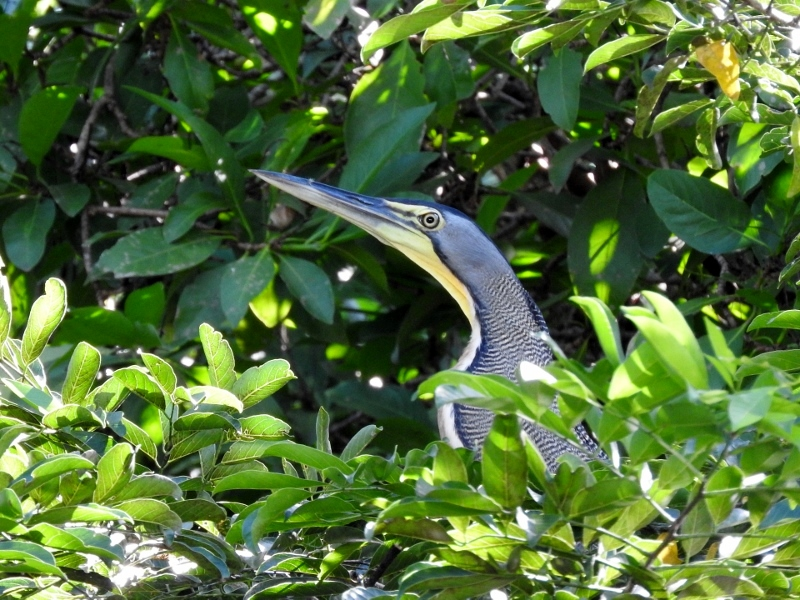 Bare-throated Tiger Heron on nest