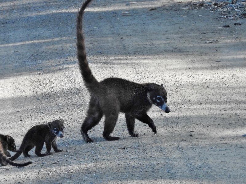 White-nosed Coati family