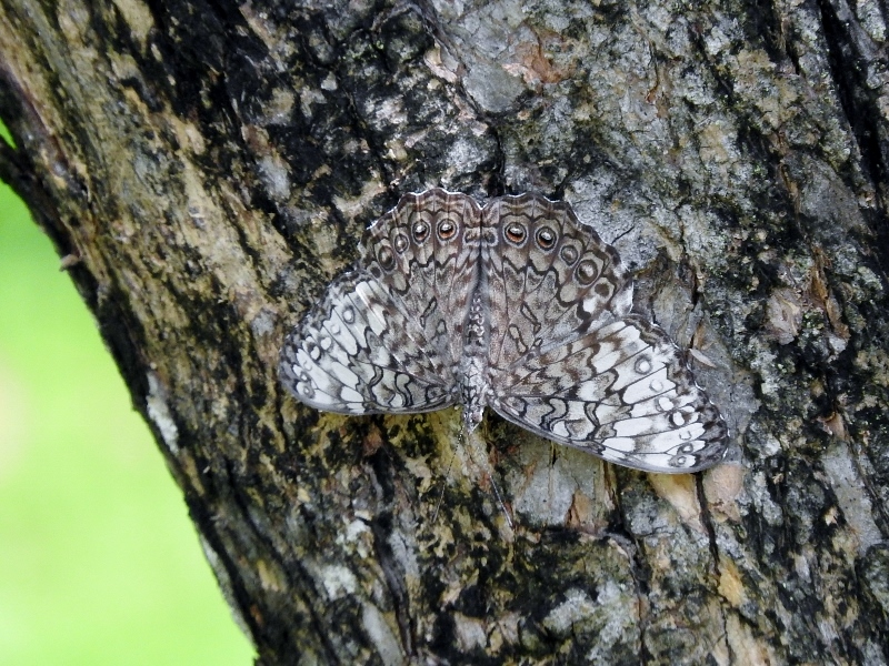 Probable Gray Cracker (Hamadryas februa)