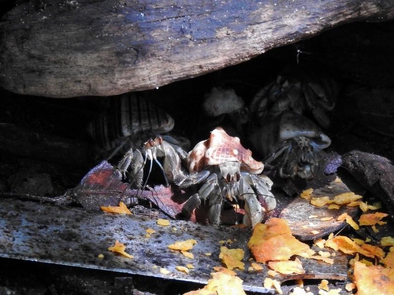 Ecuadorian Hermit Crabs (Coenobita compressus)