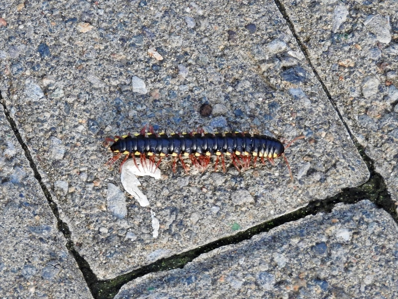 Millipede sp. crossing the path