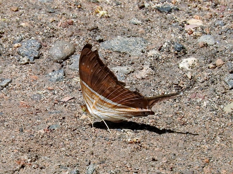 Many-banded Daggerwing (Marpesia chiron)