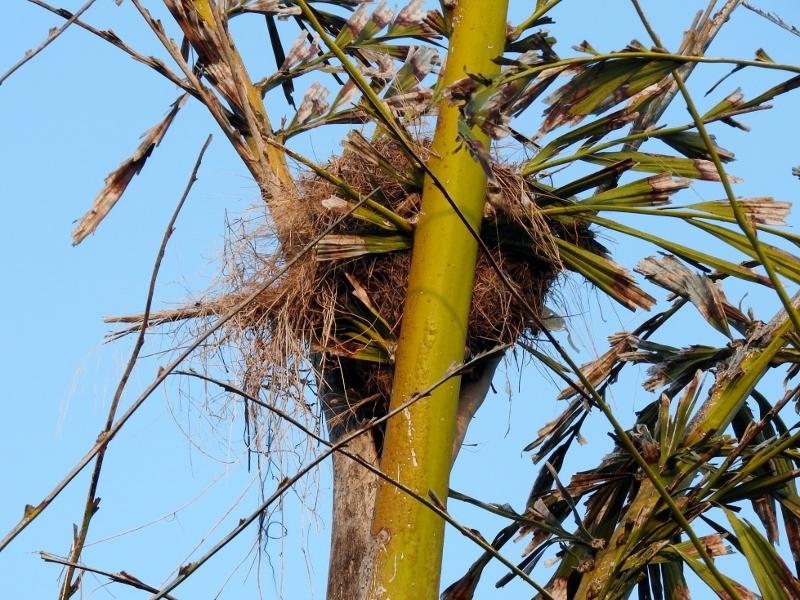 Great Kiskadee nest
