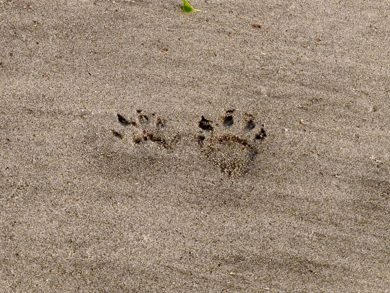 Animal tracks in the sand