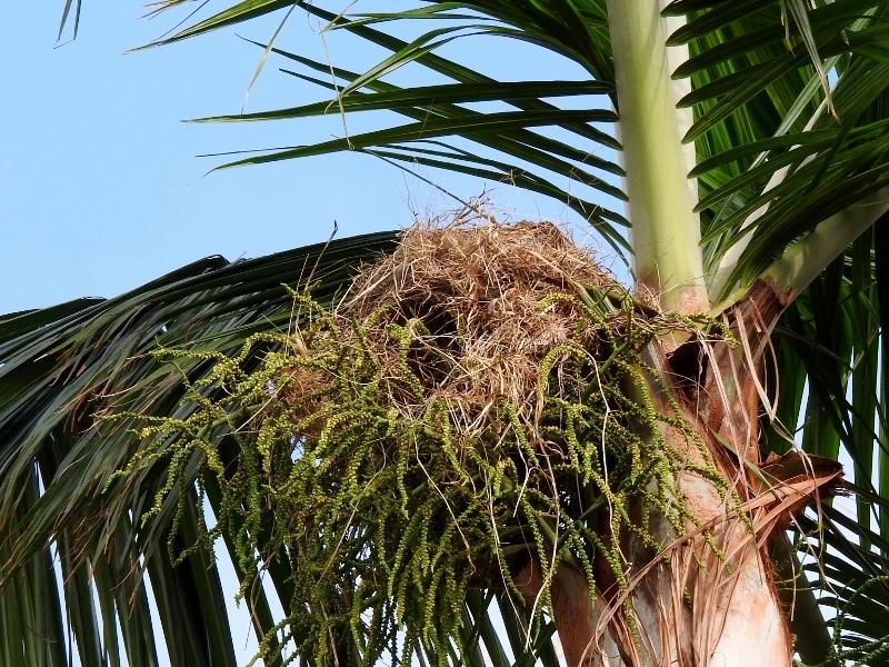 Kiskadee Nest near the entrance