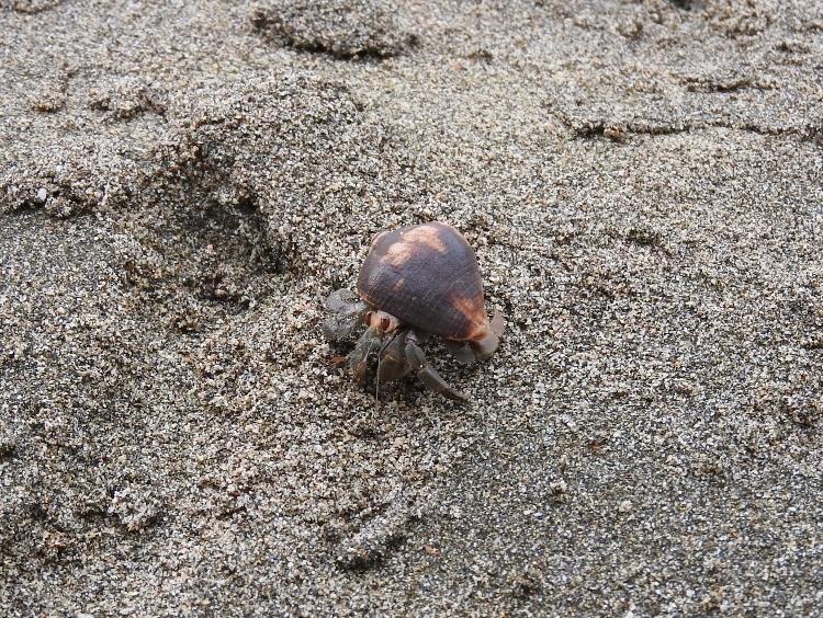 Ecuadorian Hermit Crab (Coenobita compressus)