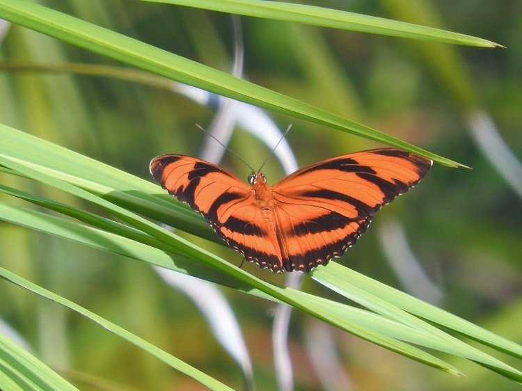 Banded Orange Heliconian (Dryadula phaetusa)