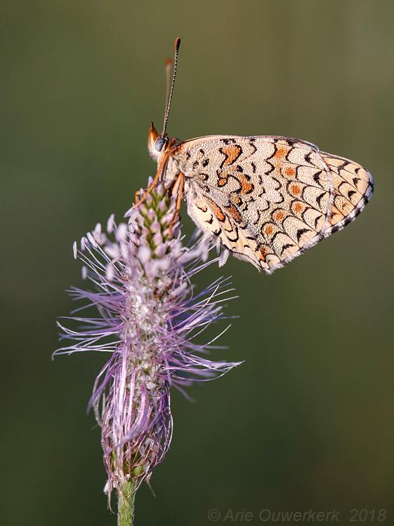 Knoopkruidparelmoervlinder - Knapweed Fritillary - Melitaea phoebe