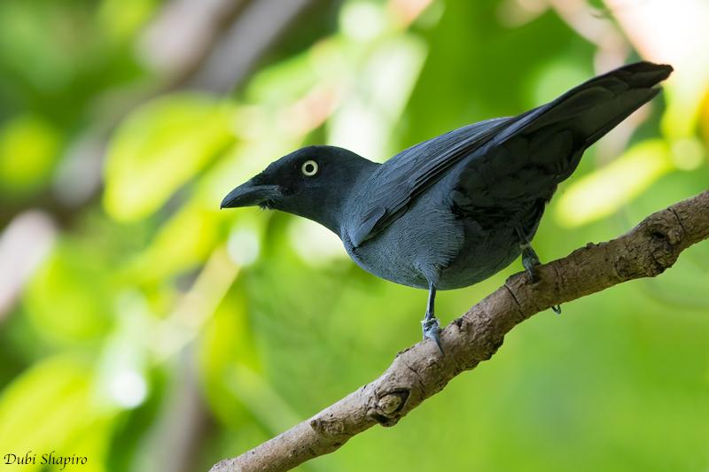 South Melanesian Cuckooshrike
