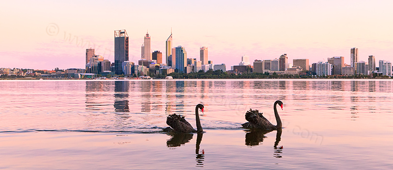 Black Swan on the Swan River at Sunrise, 16th September 2012