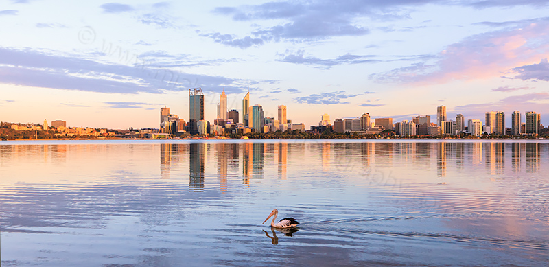 Pelican on the Swan River at Sunrise, 10th December 2012
