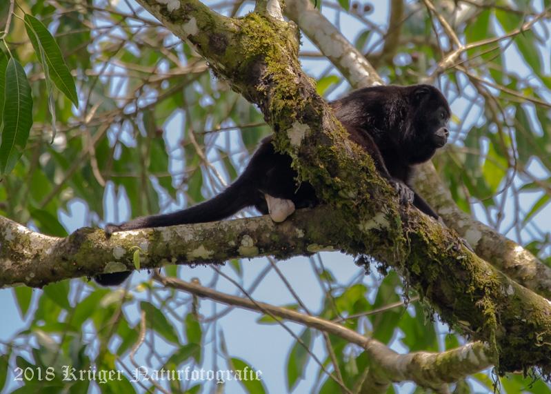 Mantled Howler Monkey (male)-5277.jpg