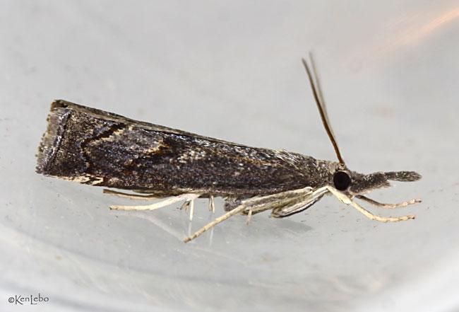 Corn Root Webworm Moth Neodactria caliginosellus #5381