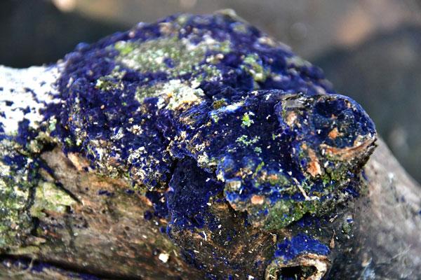 Cobalt Crust Fungus or Velvet Blue Spread - Terana caerulea 4964