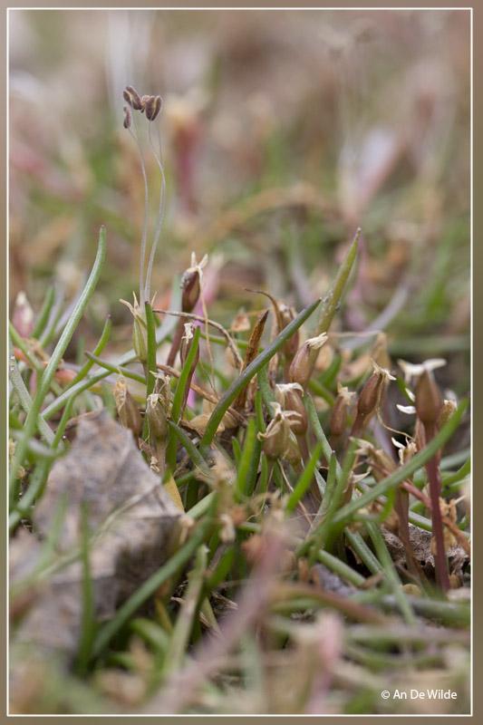 Oeverkruid - Littorella uniflora