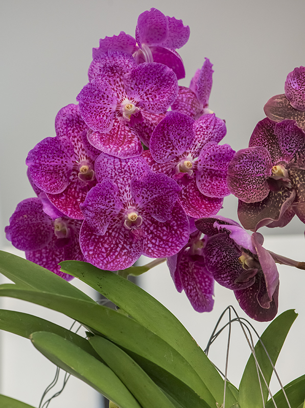 Freckled orchids