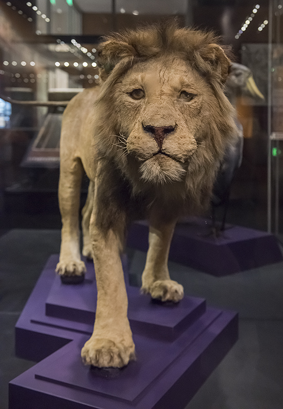 Objects of Wonder: Lion shot by Teddy Roosevelt in 1909