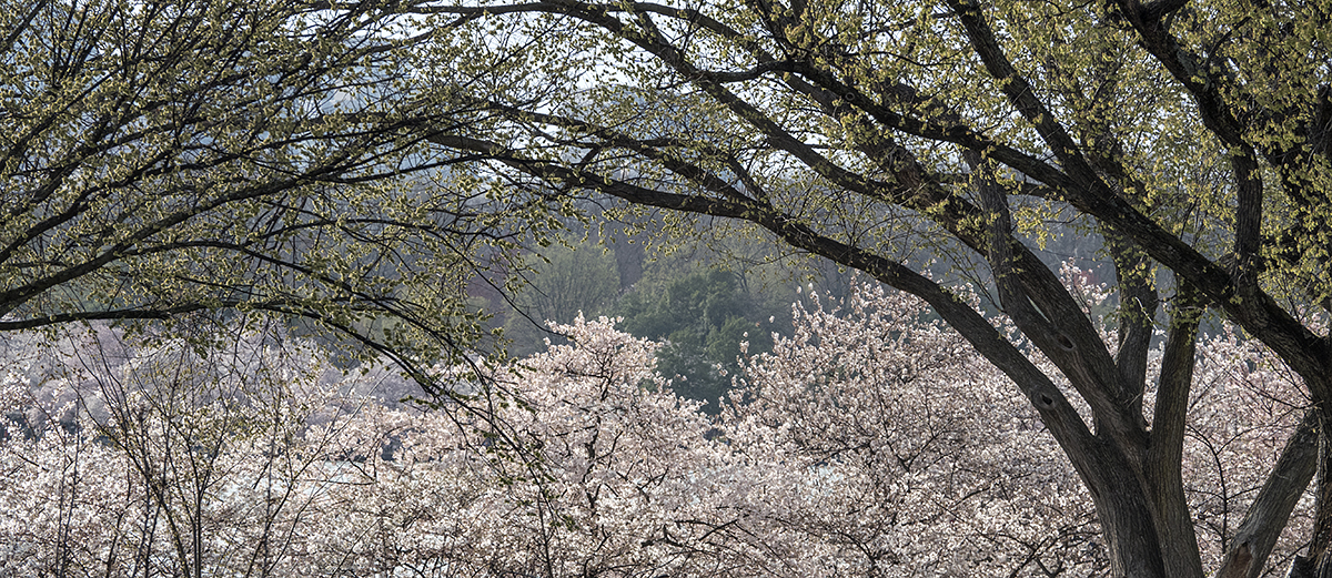 Cherry blossom drive-by