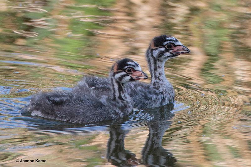 Pied-billed Grebe Chicks