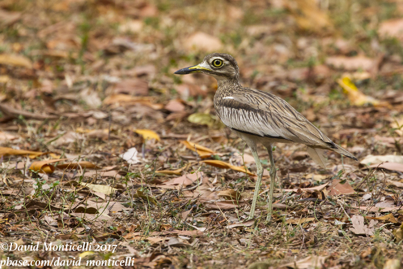 Senegal Thick-knee (Burhinus senegalensis)_Freetown Golf course (Sierra Leone)