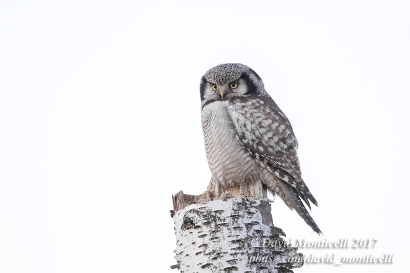 Northern Hawk Owl (Surnia ulula)_Skane (Sweden)