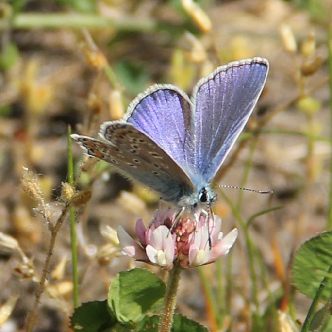 146:365<br>Common Blue Butterfly
